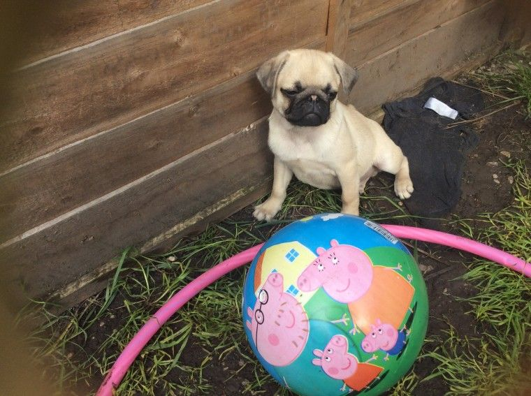 pug puppies for sale in nj pug puppies for sale plainfield nj 258186 petzlover 6654
