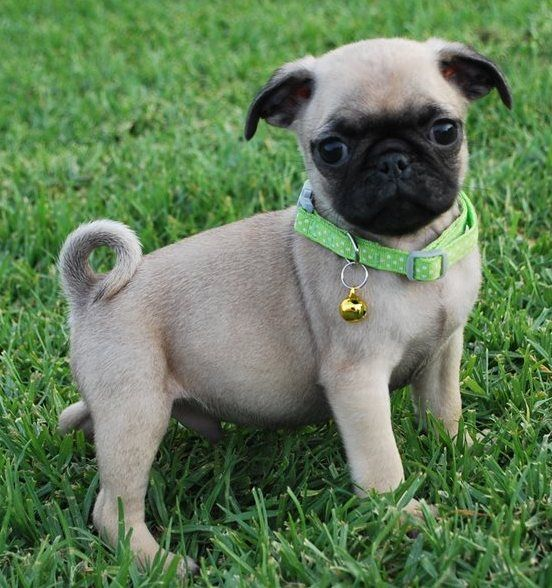 Pug Puppies For Sale Chicago Il 259190 Petzlover