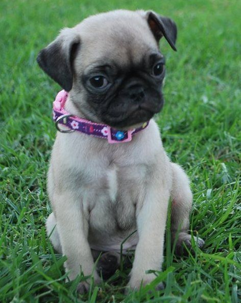 Pug Puppies For Sale Northeast Philadelphia Pa 259225