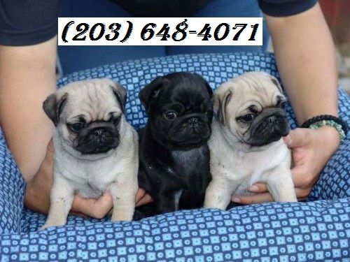 Pug Puppies For Sale Westerly Hills Charlotte Nc 263281