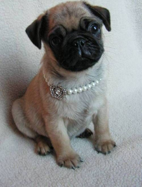 pug puppies for sale in alabama pug puppies for sale alabaster al 264588 petzlover 6525