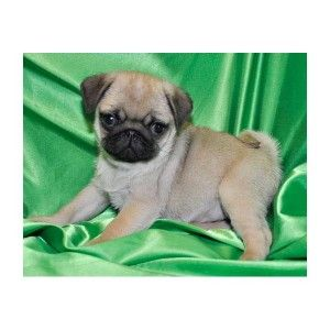 Pug Puppies For Sale Charleston Wv 265159 Petzlover