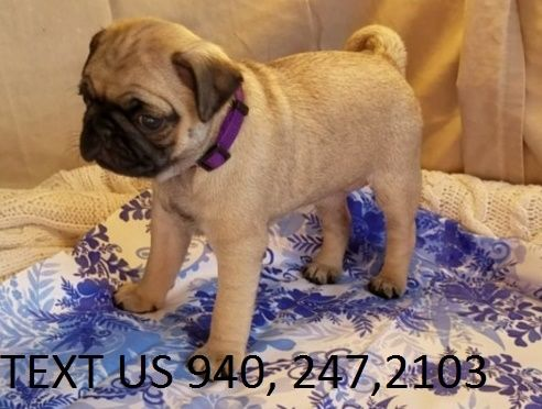 pug breeders in wisconsin pug puppies for sale madison wi 268205 petzlover 7299