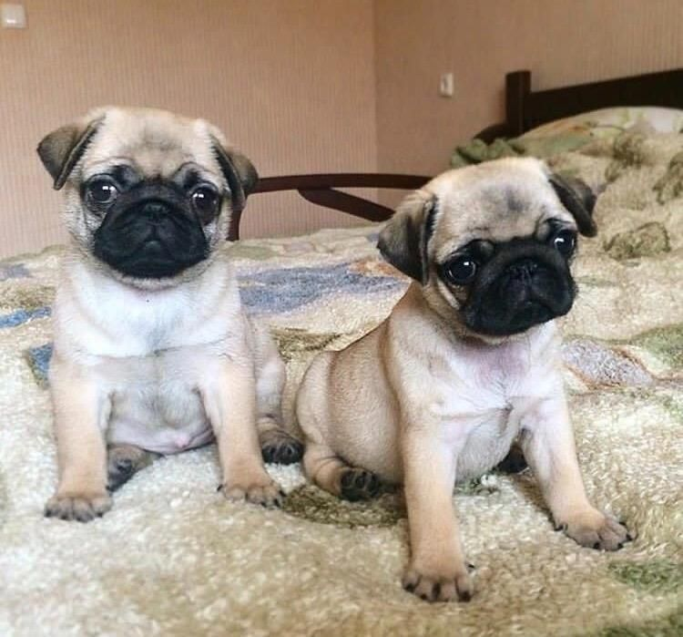 Pug Puppies For Sale In Oklahoma - Local Puppy Breeders