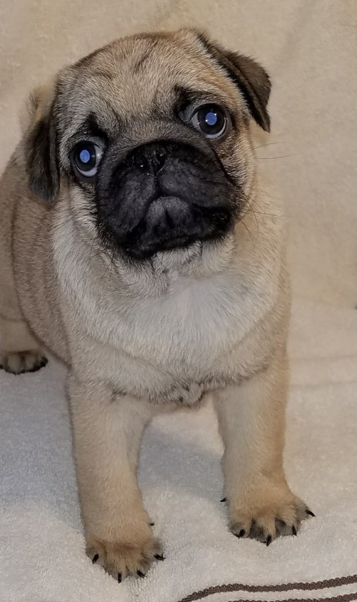 pug puppies for sale in ct pug for sale in connecticut 61 petzlover 6087