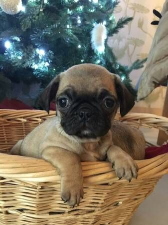 Pug Puppies For Sale Florida Ny 273295 Petzlover
