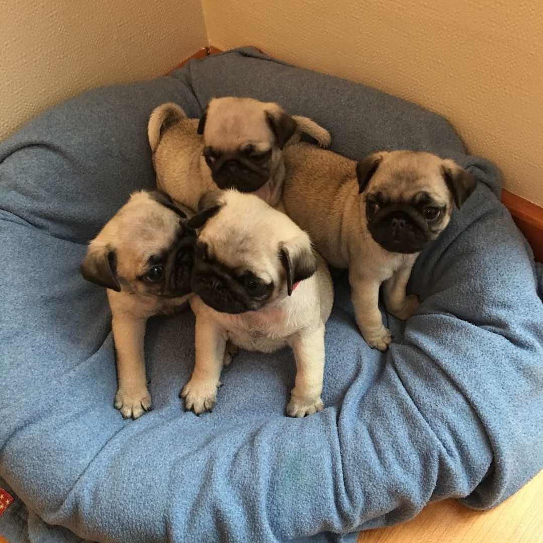 Pug Puppies For Sale   USA Parkway, NV #274704   Petzlover