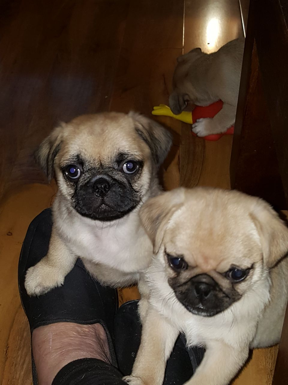 pug puppies for sale in nj pug puppies for sale plainfield nj 274863 petzlover 9080