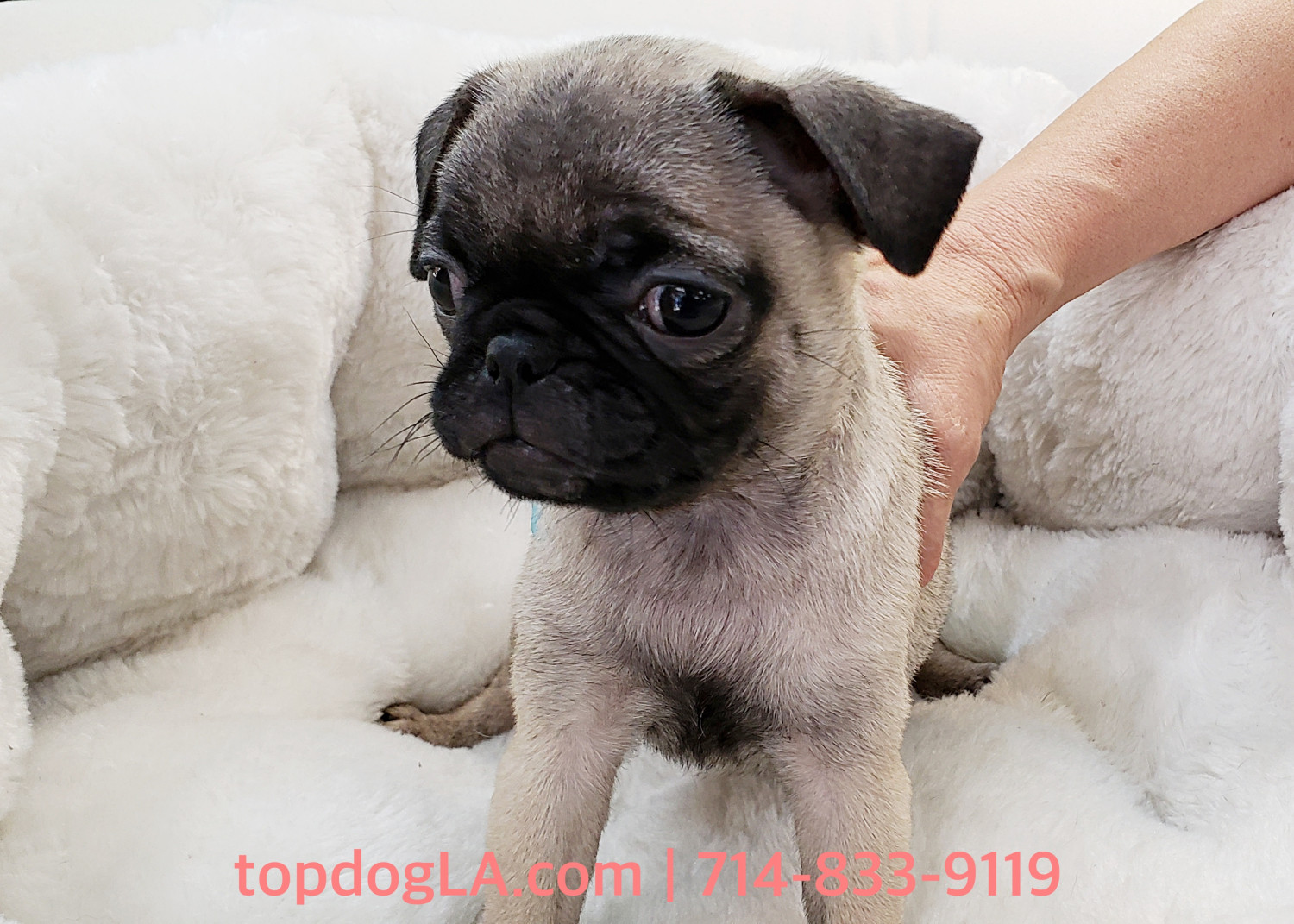 Pug Puppies For Sale Orange County Ca 277403 Petzlover