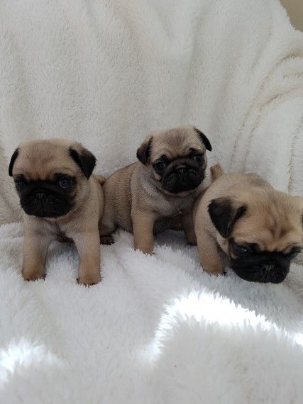 pug puppies for sale in nj pug puppies for sale jersey city nj 278718 petzlover 6284