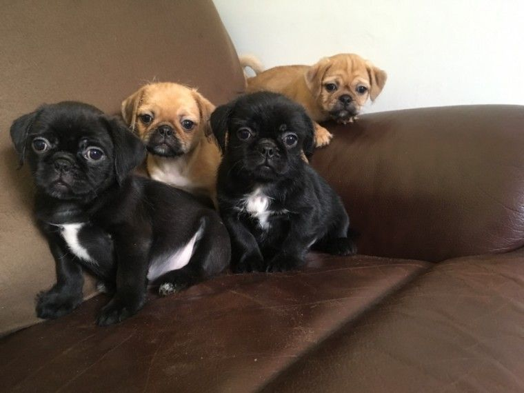 pug puppies for sale in nj pug puppies for sale jersey city nj 281287 petzlover 4851