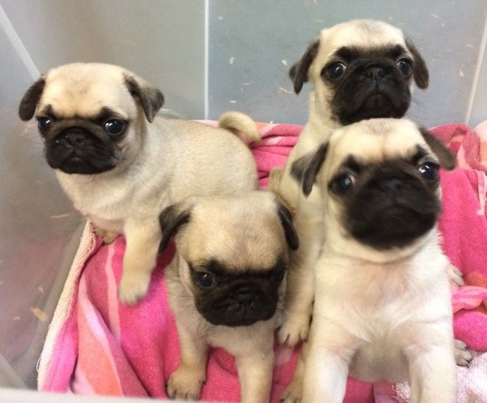 Pug Puppies For Sale Colorado Springs Co 281377
