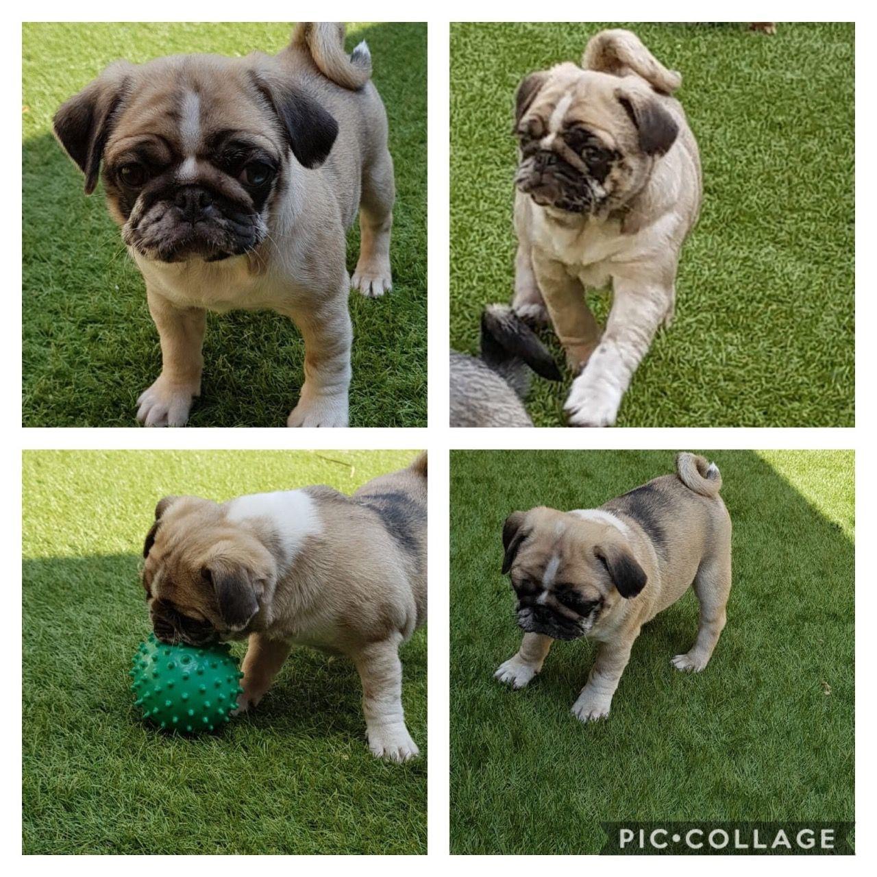 Pug Puppies For Sale Colorado Springs Co 281905