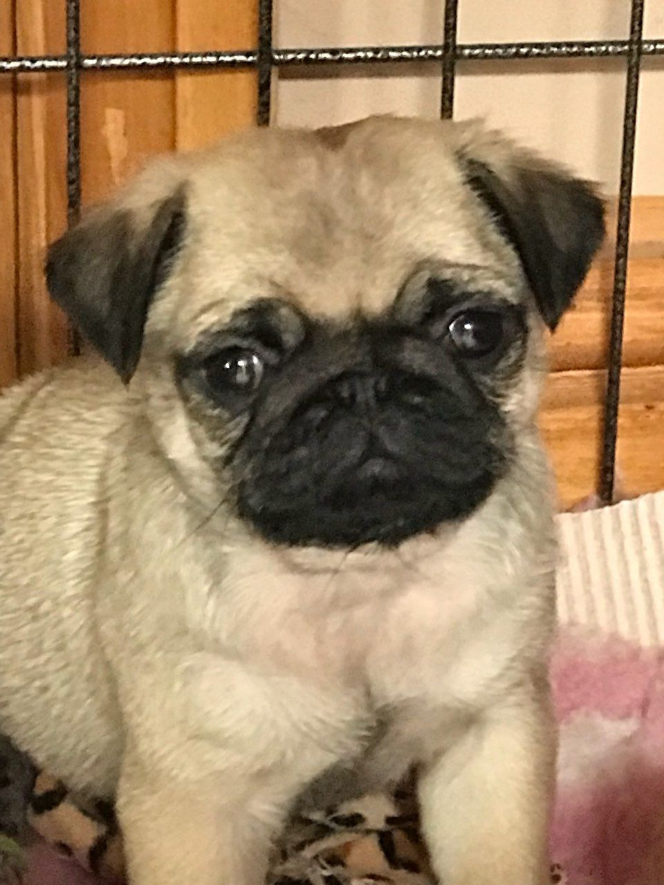 Pug Puppies For Sale Pittsburgh Pa 283867 Petzlover