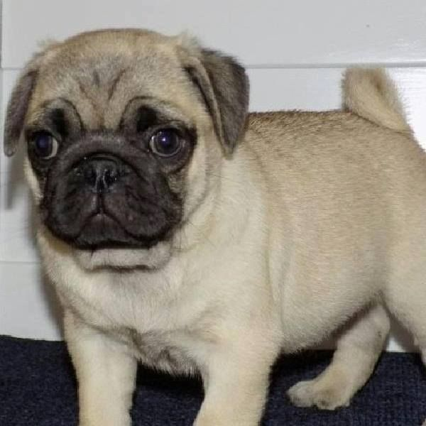 Pug Puppies For Sale New York Ny 285081 Petzlover