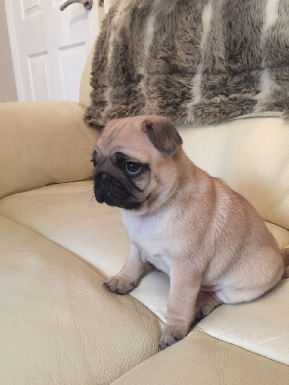 Buy Puppies Pug For Sale In Philippines