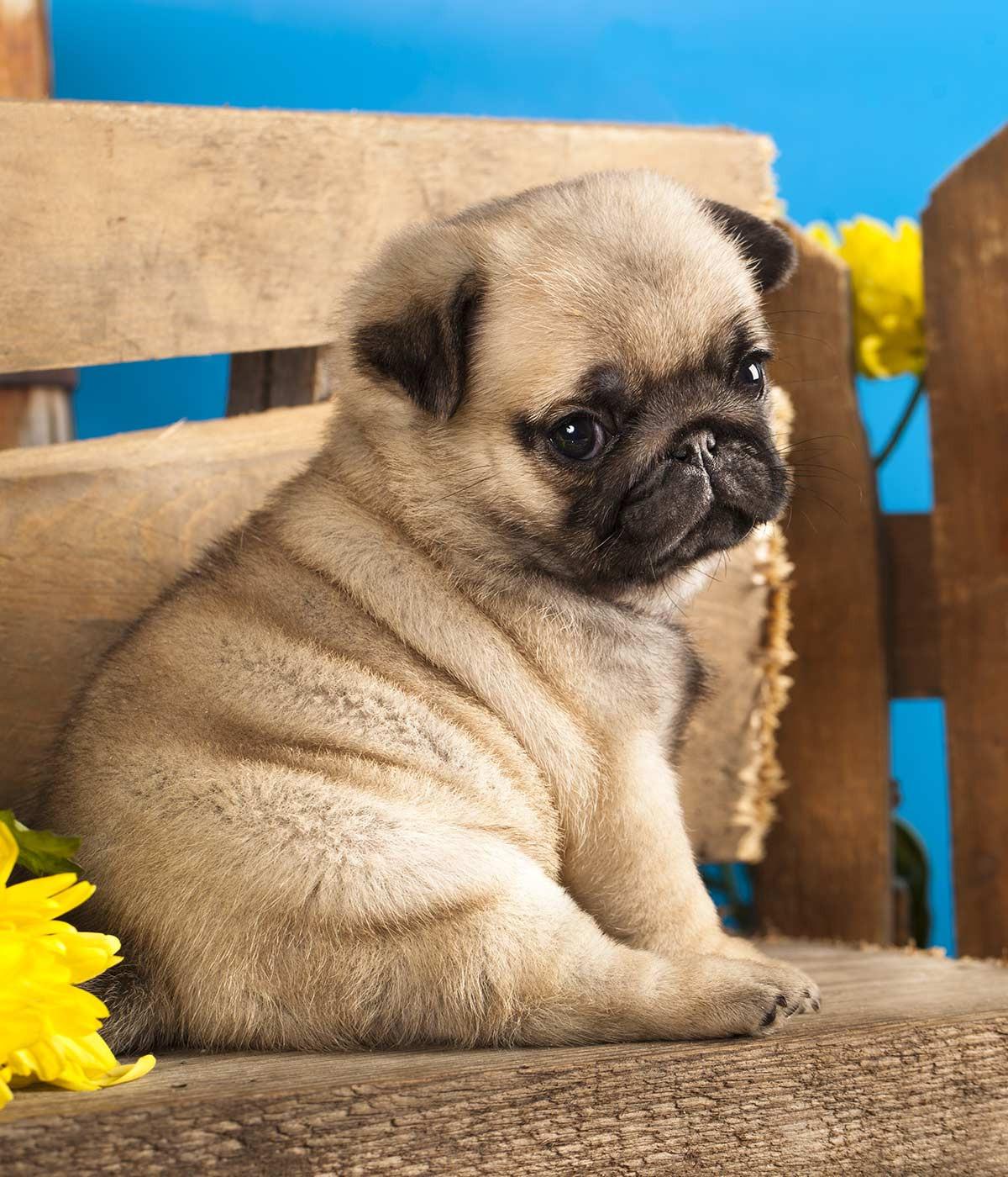 Rescue Pug Puppies For Sale | Florida City, FL #291355 | Petzlover