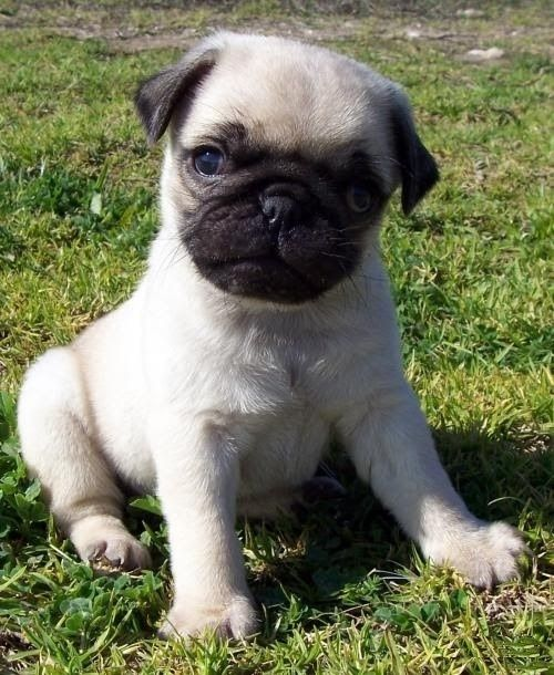 pug for sale seattle pug puppies for sale seattle wa 292811 petzlover 9732