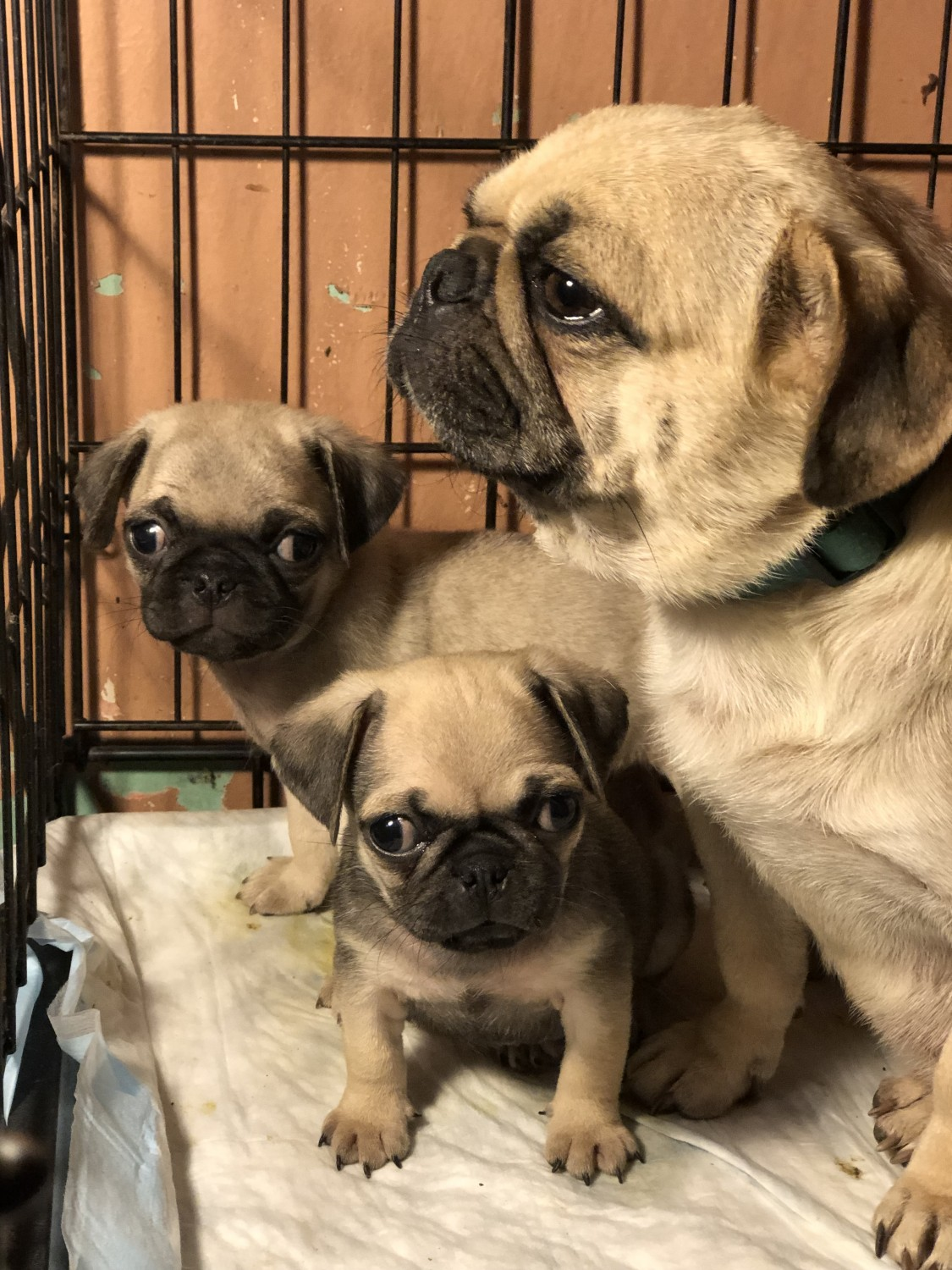 Pug Puppies ready forever lovely home FOR SALE ADOPTION Victoria Australia