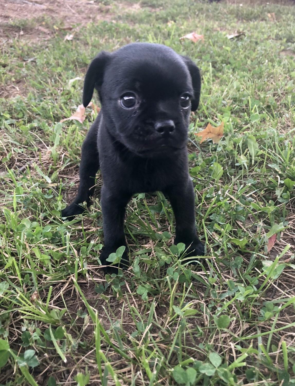 Pug Puppies For Sale Bentonville Ar 308501 Petzlover