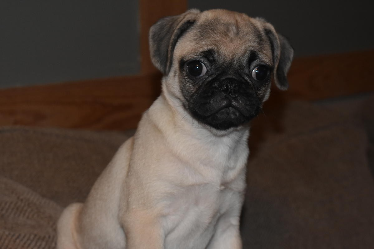 Pug Dogs and Puppies For Sale in Ireland