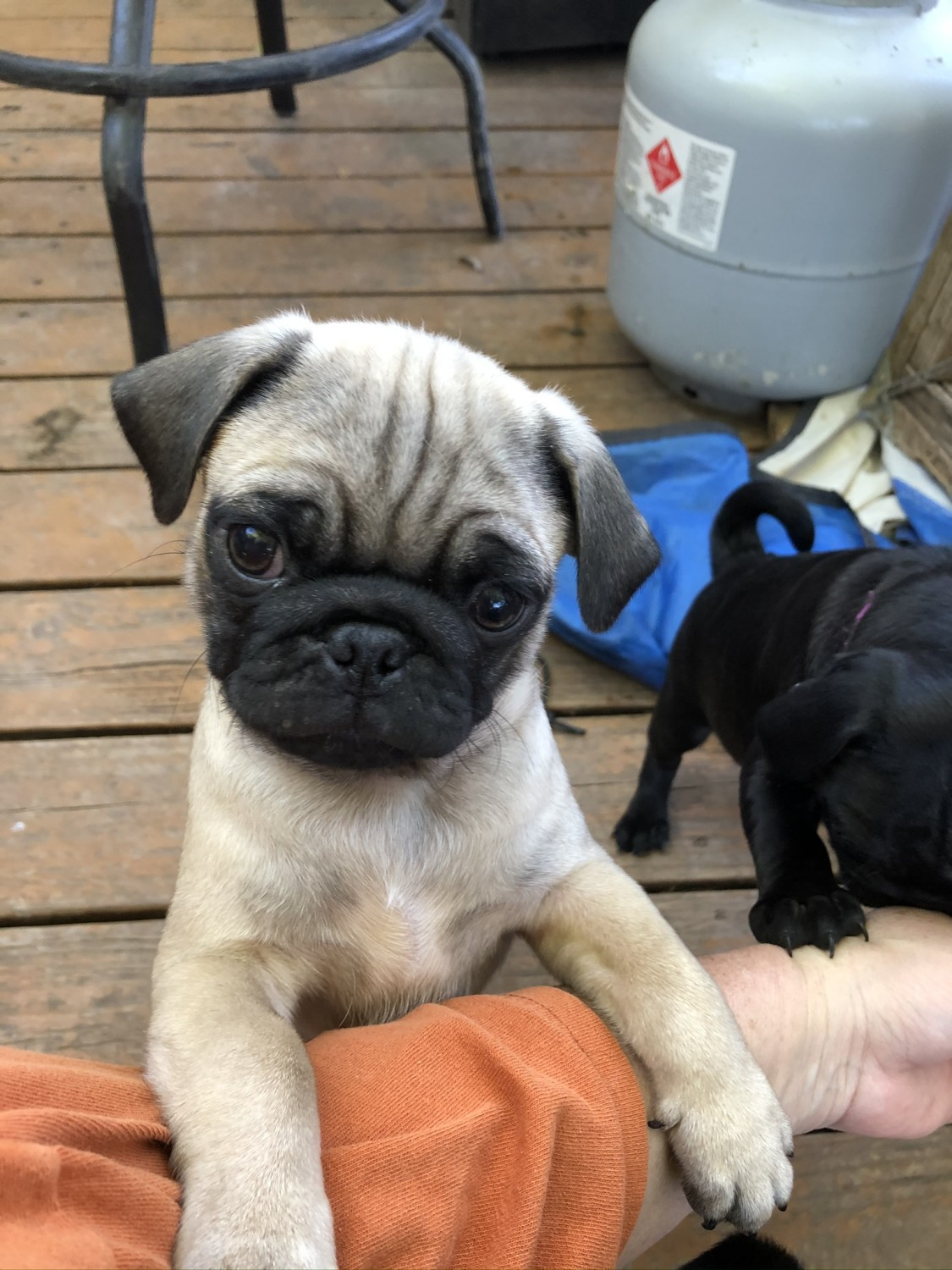 White Pug puppy for sale. | Wales UK | Pets4Homes