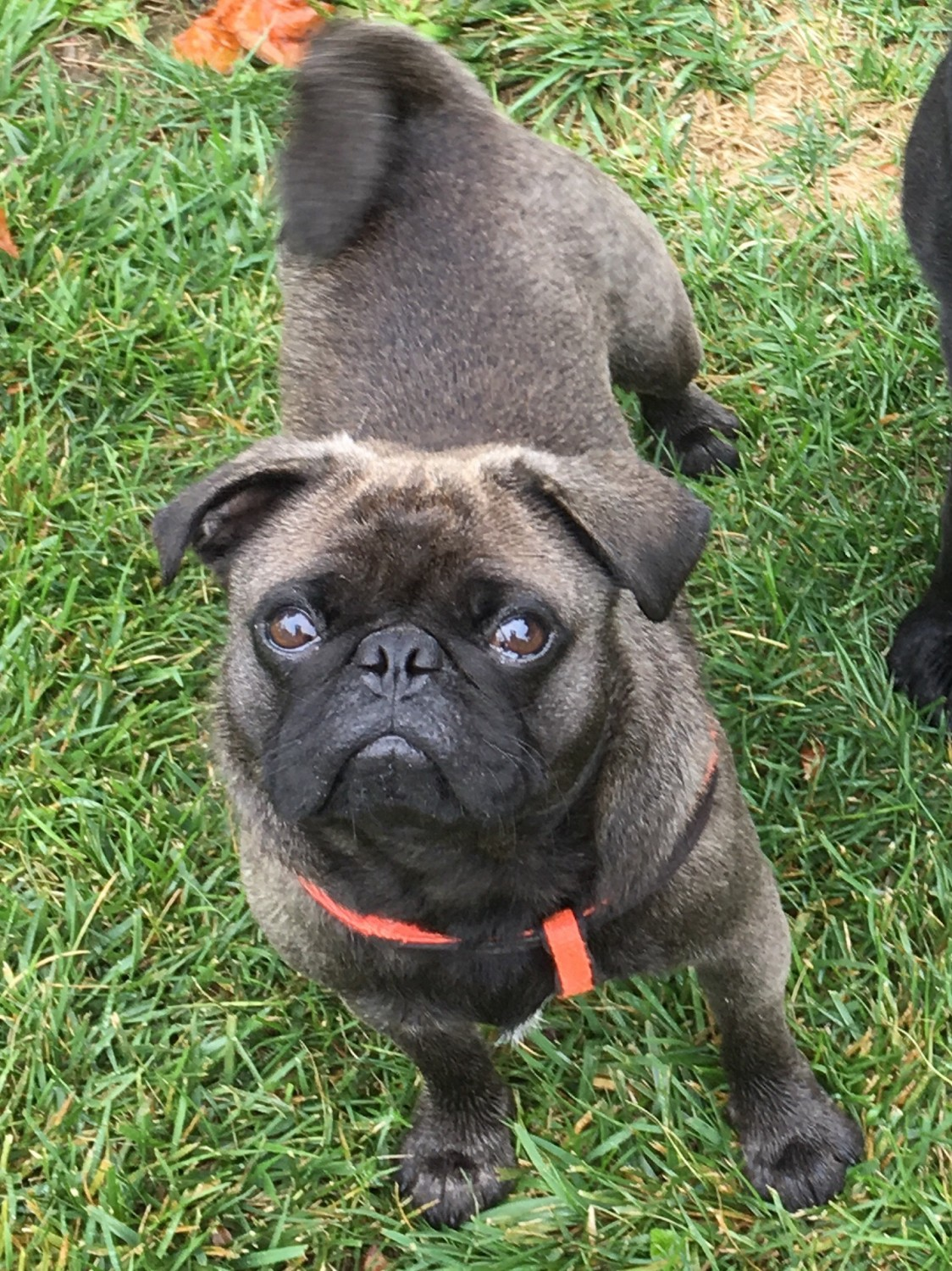 Pug Puppies for Sale - In Netherlands