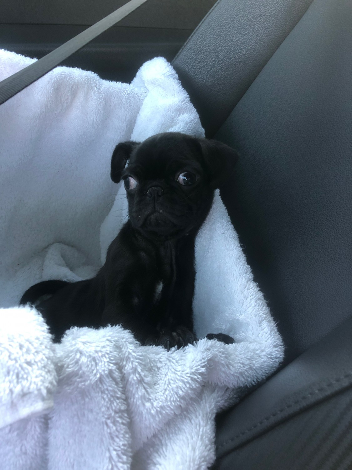Pug Puppies For Sale San Diego Ca 323998 Petzlover