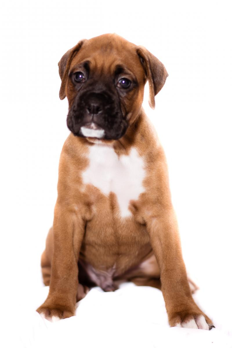 Boxer Puppies For Sale Clearwater Fl 99217 Petzlover