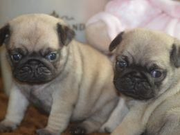 Pug Puppies For Sale Providence Ri 104060 Petzlover