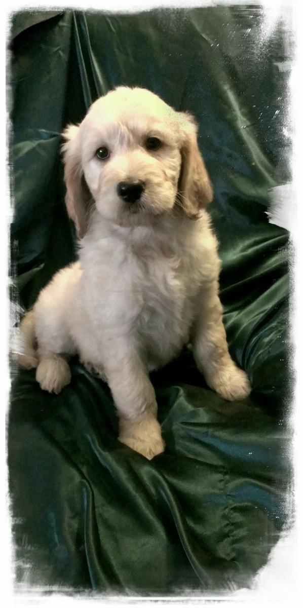 Goldendoodle Puppies For Sale Spokane Wa 104828