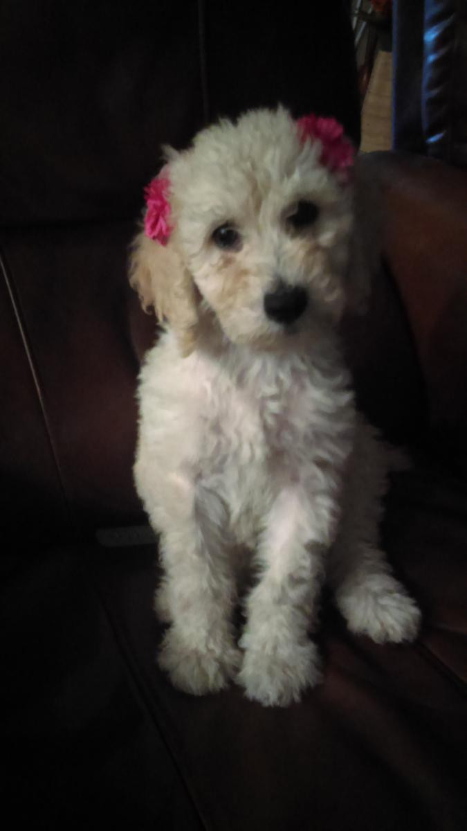 Poodle Puppies For Sale Seattle Wa 135722 Petzlover