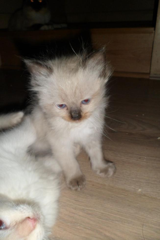 Ragdoll kittens for sale in kansas