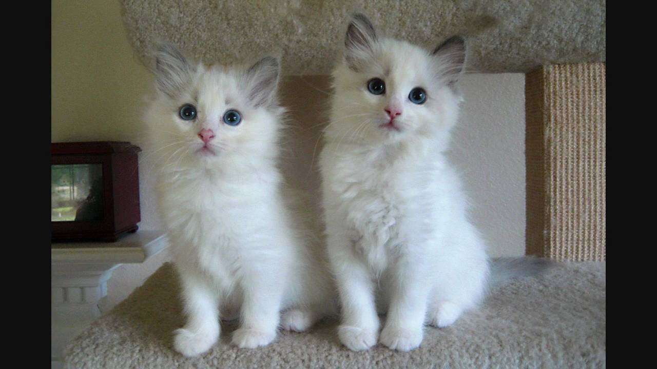 Ragdoll Cats For Sale | Indianapolis, IN #213669 | Petzlover