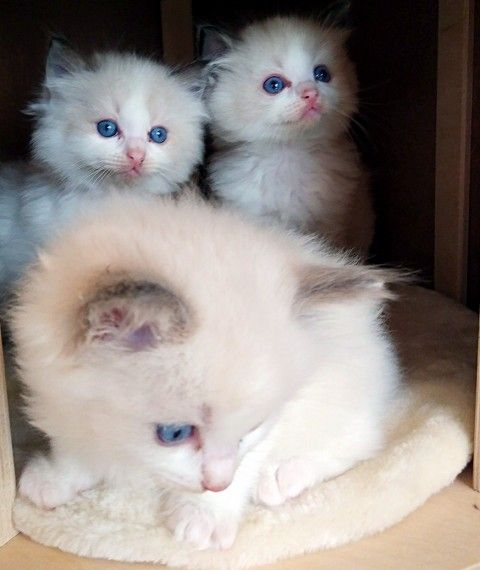 Ragdoll Cats For Sale Palm Coast Fl 247724 Petzlover