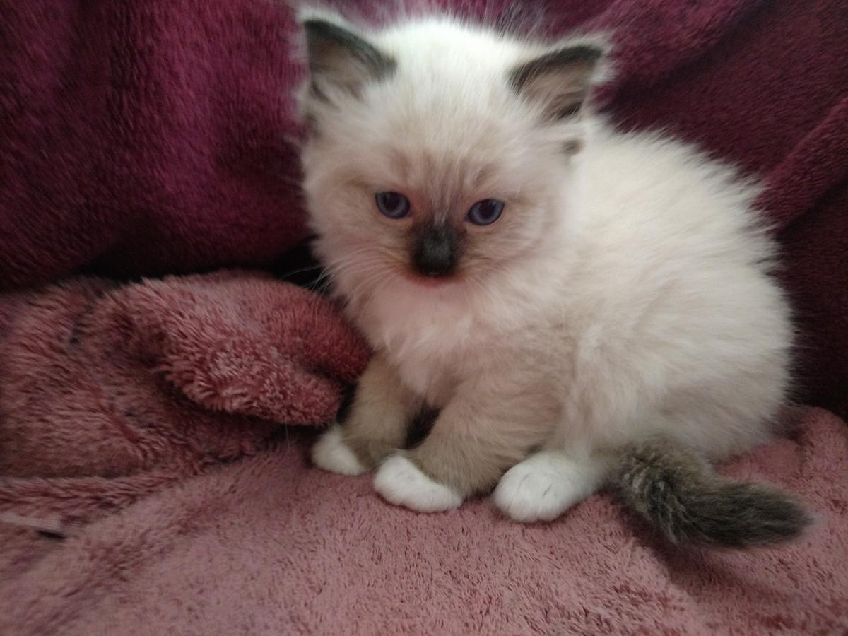 Bengal Cats For Sale Las Vegas Nv