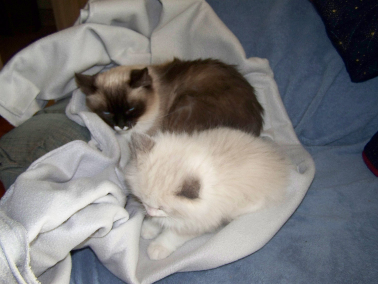 Ragdoll Cats For Sale | New Holland, PA #278605 | Petzlover