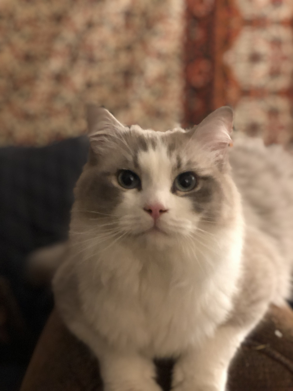Ragdoll Cats For Sale State College Pa 292320