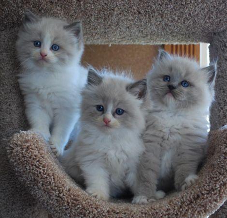 Ragdoll Kittens Naples Florida | Dollinska Ragdolls