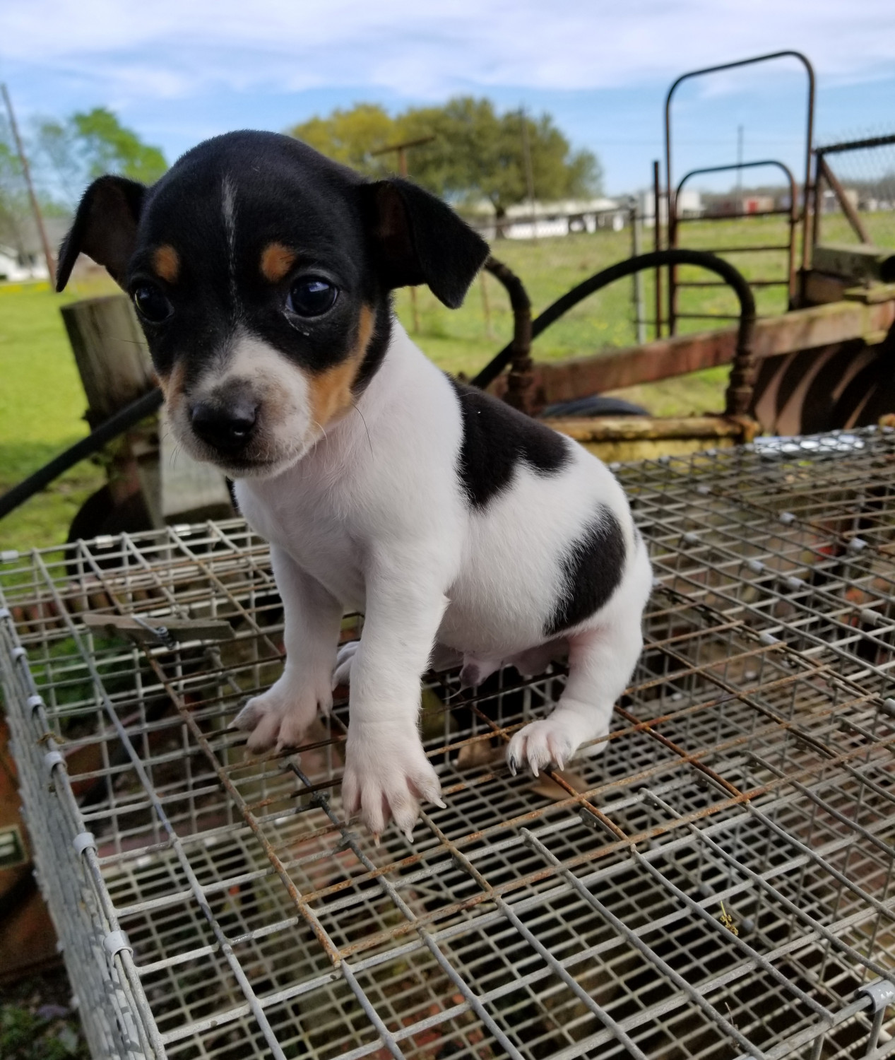 Rat Terrier Puppies For Sale Scott La 272056 Petzlover