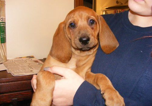 Redbone Coonhound Puppies For Sale Orlando Fl 207993