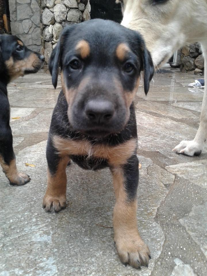 Redbone Coonhound Puppies For Sale Ojai Ca 288356