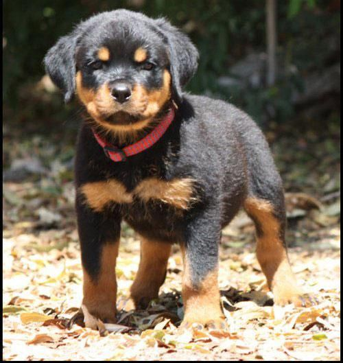 Rottweiler Puppies For Sale Oregon City Or 108227