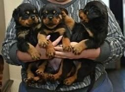 Rottweiler Puppies For Sale Annapolis Md 113408