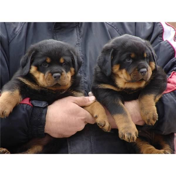 Rottweiler Puppies For Sale Montgomery Al 116092