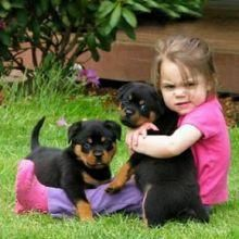 Rottweiler Puppies For Sale San Antonio Tx 116962