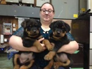 Rottweiler Puppies For Sale   Los Angeles, CA #133600