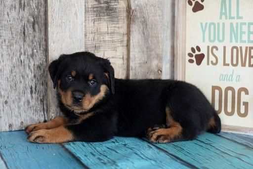 Rottweiler Puppies For Sale Houston Tx 137709