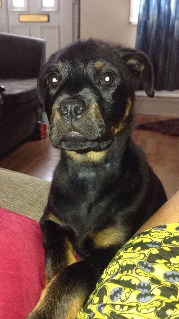 Rottweiler Puppies For Sale | Birmingham, AL #145951