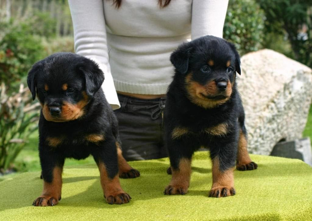 Rottweiler Puppies For Sale Holderness Nh 150742